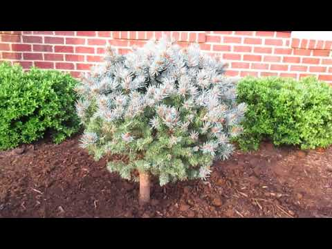 Spruce on a Standard Paradise Manor Hagerstown MD Washington County Maryland