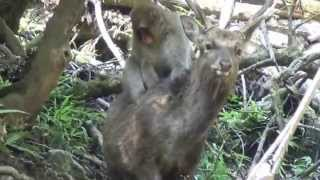 Monkey-deer mounting in Japanese macaques