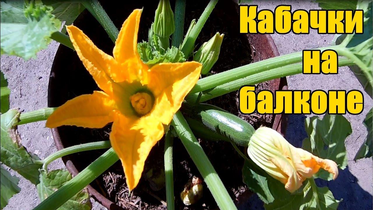 Супер способ выращивание кабачков на балконе / от семечки до.
