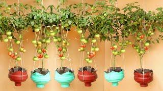 Удивительный висячий сад, Как вырастить помидор в домашних условиях, много фруктов