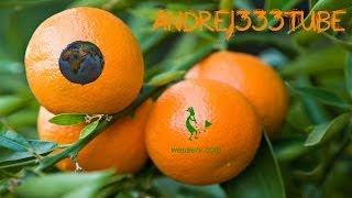 Botanica e giardinaggio - Potatura mandarino clementino