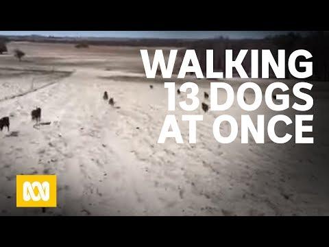 WA kelpie breeder Aticia Grey films her 13 dogs taking a run