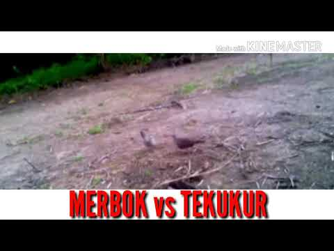 MERBOK vs TERKUKUR (Kredit :Video Viral)