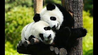 ПОПРОБУЙ НЕ ЗАСМЕЯТЬСЯ 🔴 Смешные Приколы с Животными до слез, Смешные панды #2