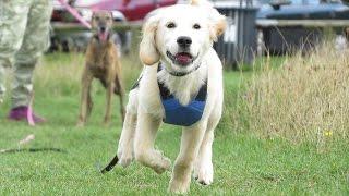 Barney - Golden Retriever Puppy - 2 Week Residential Dog Training
