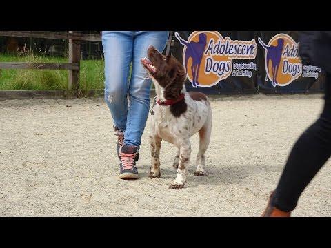 Alfie - Springer Spaniel - 3 Weeks Residential Dog Training