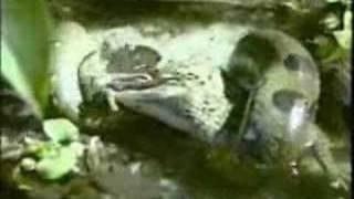 Holy Crap!  Snake eats an Alligator!