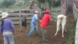 Arreando las vacas