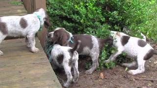 Sugar Creek Spinoni Puppy Litters