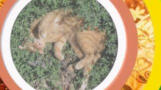 1001 специя Шехерезады - Кошачья мята