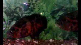 fire red oscar fish fighting (Astronotus ocellatus)