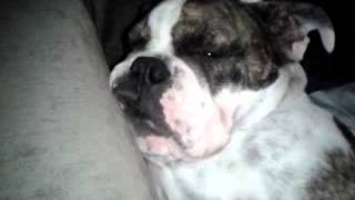Cute bulldog baby sleeps and snores