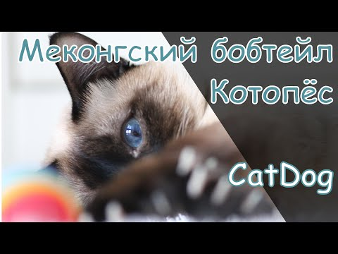 Настоящие собаки в мире кошек - меконгские бобтейлы.