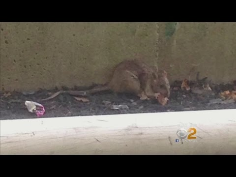 Rodents A Constant Sight In Roosevelt Island School