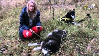 Аляскинский маламут- мифы и реальность!