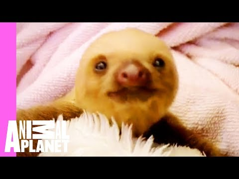 Thumbnail: Baby Sloths Get Swaddled | Too Cute
