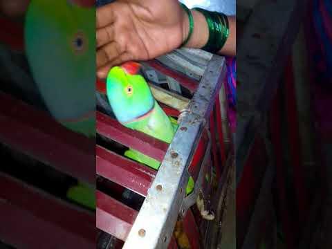 Great Parrot Talking To Me Marathi Language Parrot Name Rama