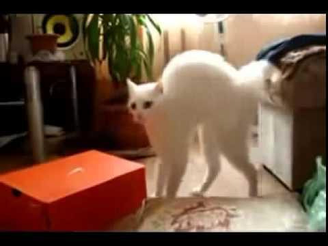 смешное видео про белую кошку