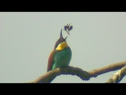Bee-eaters in Slow Motion - tewbirds @ East Leake Quarry - 2017-07
