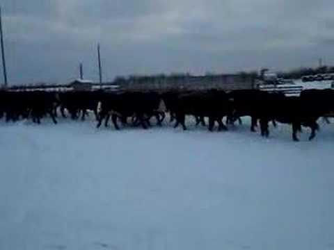 cows pierceland