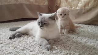 Шотландская кошка(скоттиш страйт)