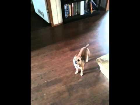 Beautiful, funny dog howling
