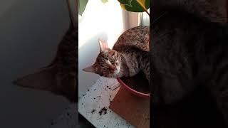 Shorts Мурзилка Фикус Мурзилка и домашние растения