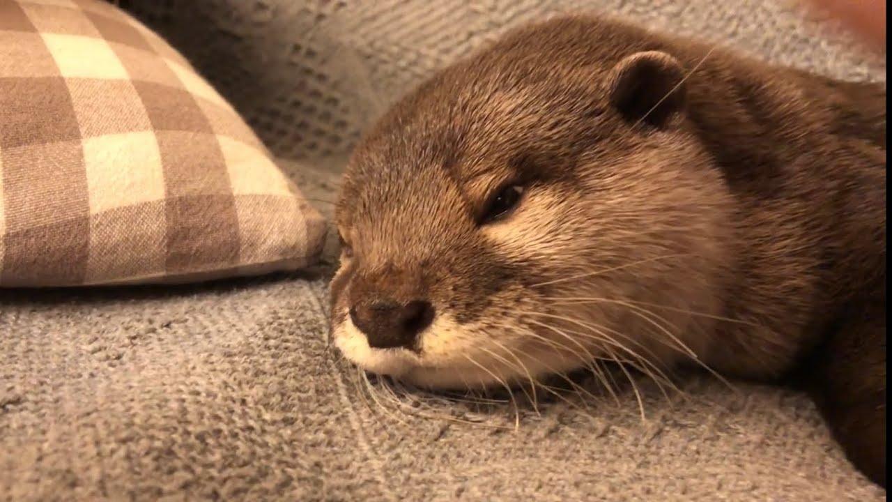 カワウソさくら なんかモチャモチャ言いながら足にすがりつくカワウソ otter clinging to its owner's feet