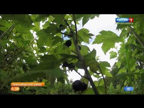 Рекордный урожай чёрной смородины собирают в новосибирском посёлке