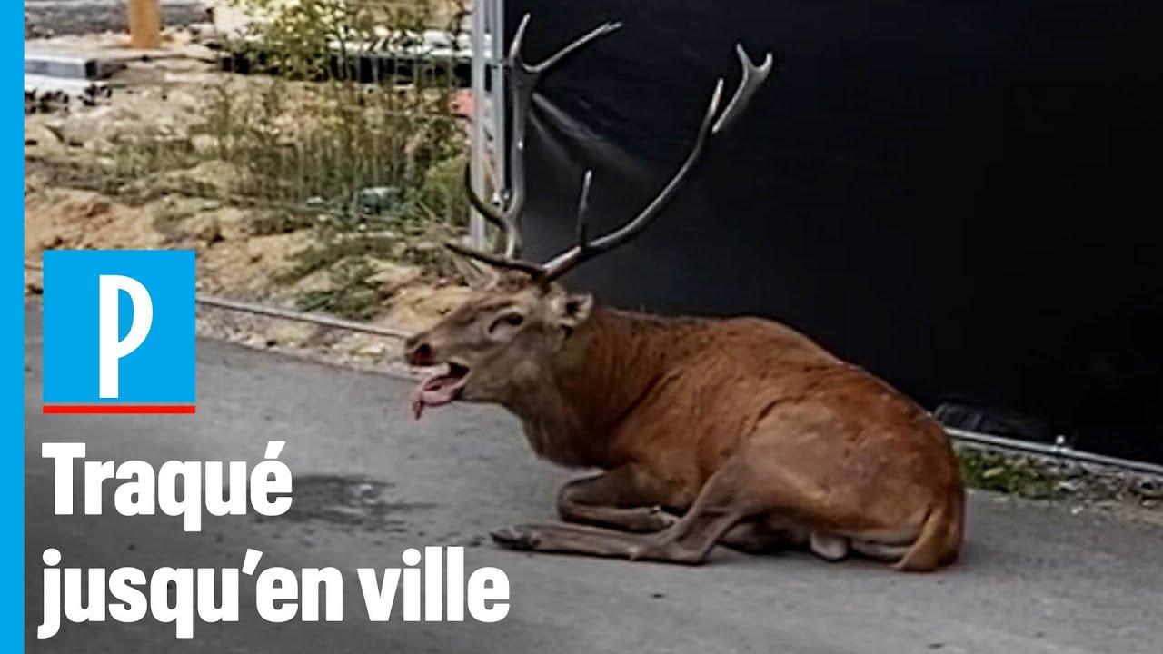 Un cerf poursuivi par une chasse à courre se réfugie à Compiègne