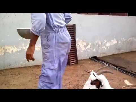 Goats farm in Oman,slalalah