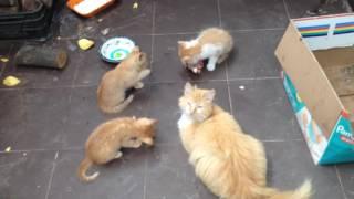 котята едят мясо.