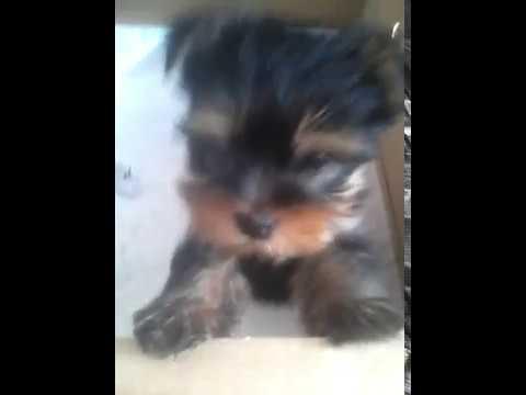 Йорк гавкает щенок 1.5 месяцев
