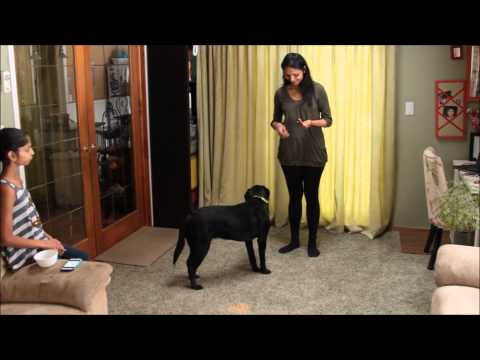 8 Month old Labrador Retriever showing her skills