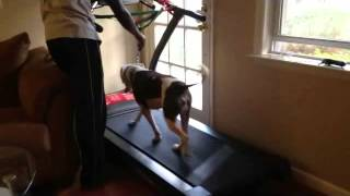 How-to Teach Your Dog To Run Or Walk On A Treadmill.