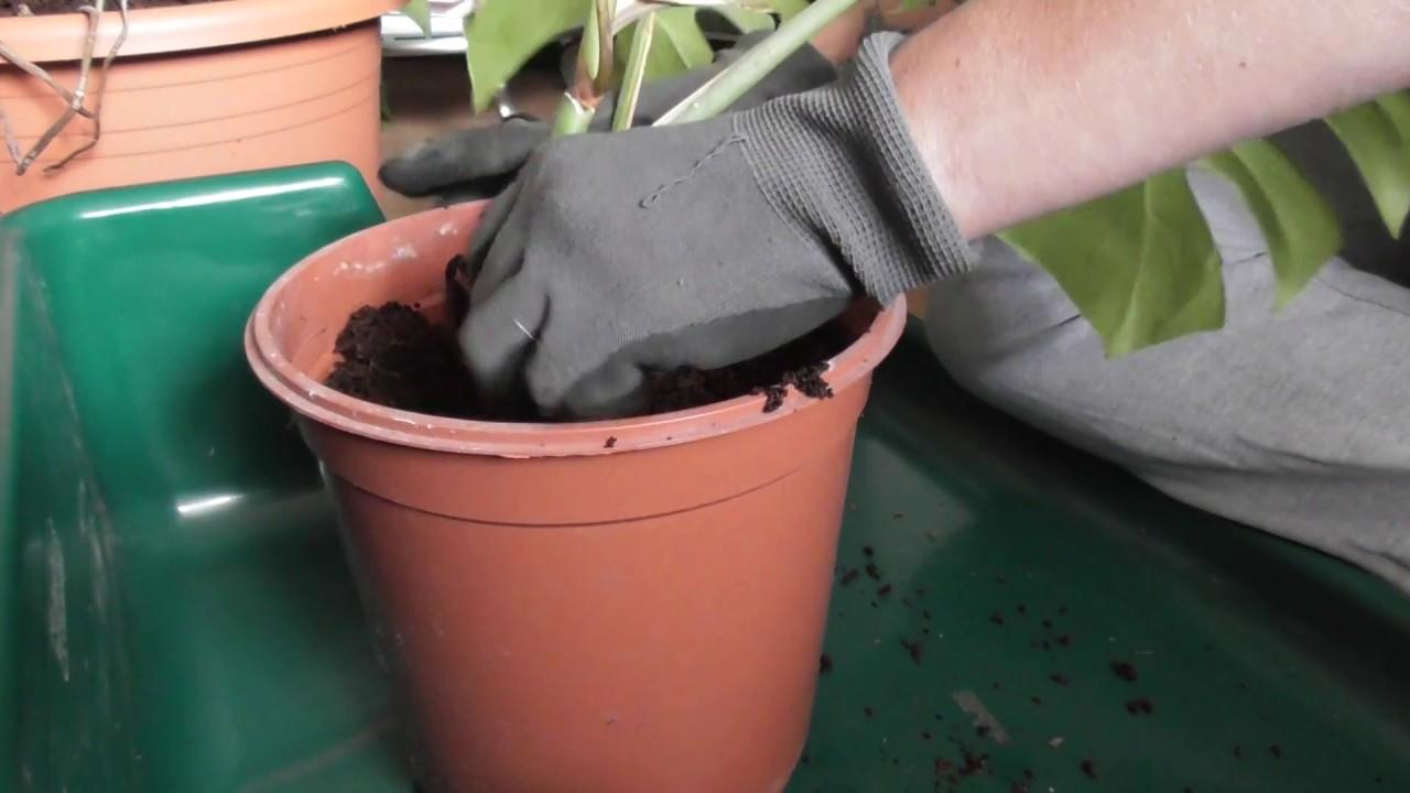 fensterblatt monstera deliciosa durch steckling vermehren ganz einfach youtube