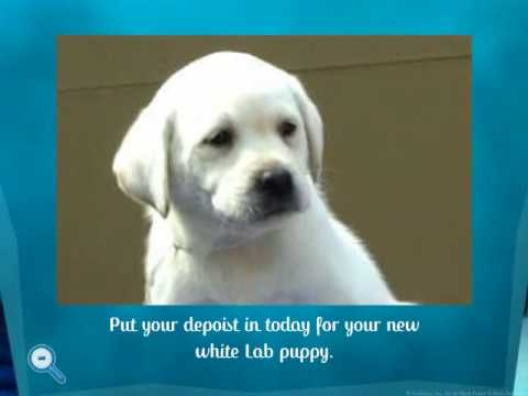 White Lab Polar Bear Puppies By Golden Lightning Labs Youtube