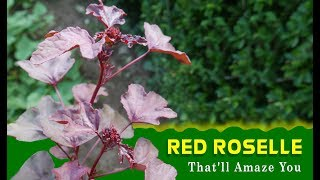 Health Benefits Of Red Roselle That'll Amaze You   Medicinal Plants   TOP 10 Indian Herbs