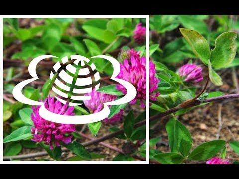 Конюшина. Клевер. Trifolium