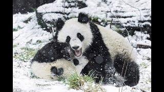 Twin pandas enjoy snow day