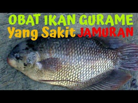 Obat Ikan Gurame Yang Sakit Atau Jamuran Youtube