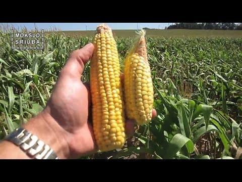 Mokslo sriuba: apie genetiškai modifikuotus organizmus