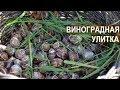 Виноградные улитки Сергея Балаева. Улитки хрустят под ногами. Краснодарская и под