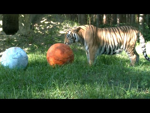 A Tiger's Feelings About The Solar Eclipse
