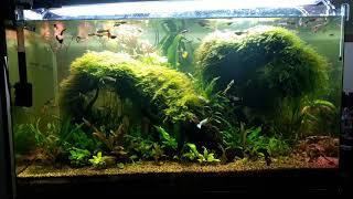Guppy and Aquarium plants 12-7-2018m