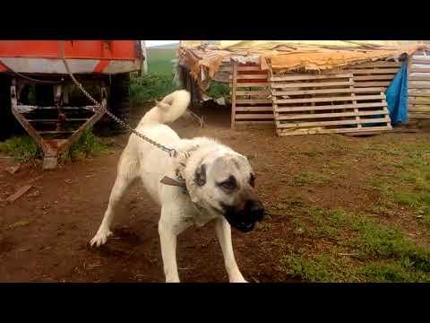 Dev Kangal Köpeği ve Yavru Kangal Köpekler