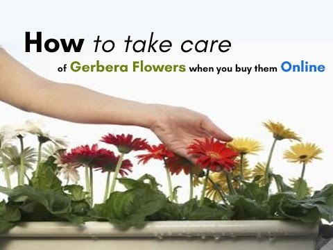 how-to-take-care-of-gerbera-flowers-when-you-buy-them-online?---indianbakers.com