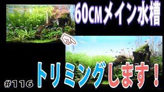 【60cmメイン水槽】リセット後 初トリミングします!またハゲ山?【水草水槽・熱帯魚】#116