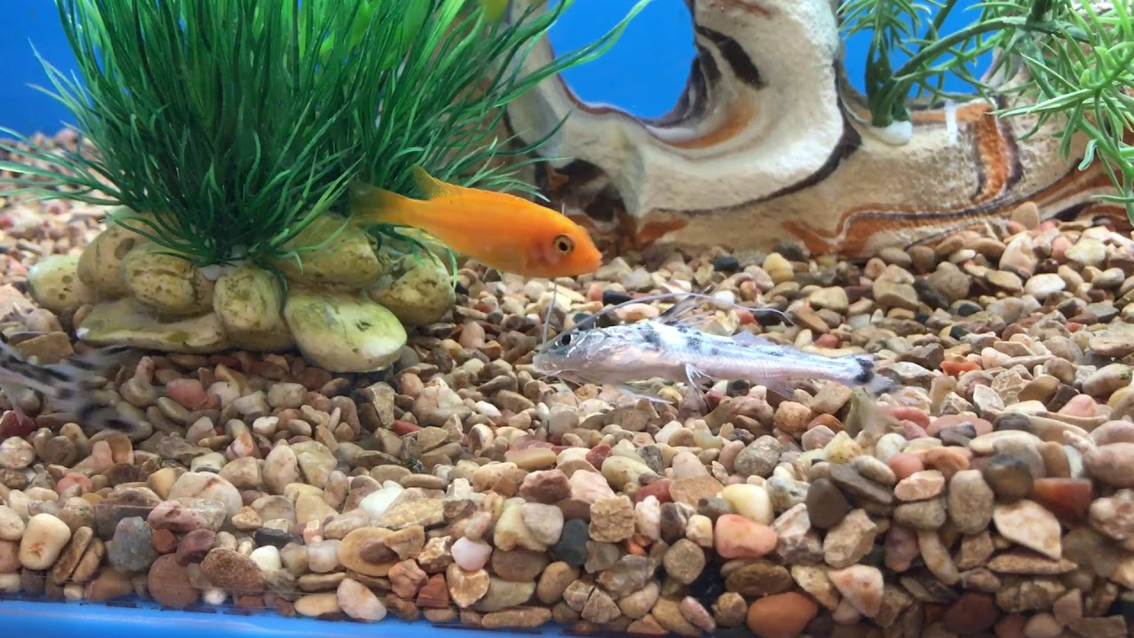 catfish eaten alive by african chiclid at petsmart store youtube
