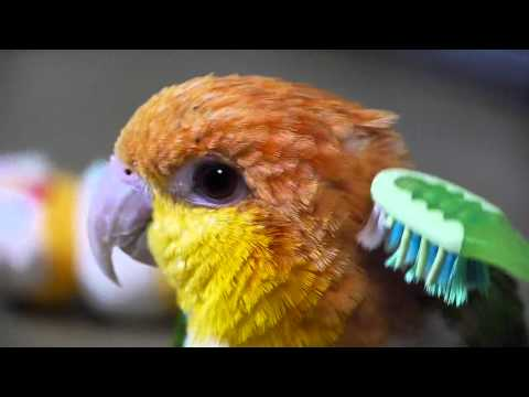 Cute White Bellied Caique